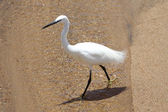 White bird walking in the water — Stock Photo