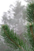 Spider web on the branches of pine — Stock Photo
