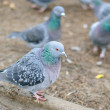 Pigeon sitting on the ground and looking at the camera — Stock Photo