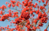 Clusters of red ash against the sky — Stock Photo