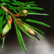 Fir branch with growing buds — Stock Photo #44984331
