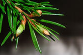 Fir branch with growing buds — Stock Photo