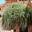 Rubus Sanctus, the Burning Bush in, Sinai, Egypt. — Stock Photo