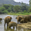 Stock Photo: Elephants bathe