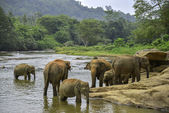 Elephants bathe — Stock Photo
