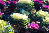 Ornamental cabbage in garden — Stock Photo