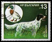 Bulgaria - CIRCA 1985: stamp printed by Bulgaria, shows a hunting dog, circa 1985 — Stock Photo