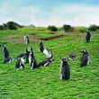 Magellanic penguins (Spheniscus magellanicus), Penguin Island, B — Stock Photo