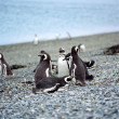 Stock Photo: Magellanic penguins (Spheniscus magellanicus), Penguin Island, B