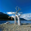 Tree on shore, Ushuaia, Argentina — Stock Photo #30248549