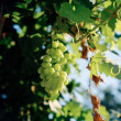 Grapes on vine, Crete, Greece — Stock Photo #30572119