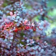 Barberry plant, close up — Stock Photo #30572261
