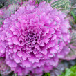 Ornamental cabbage — Stock Photo #30572275