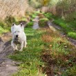 West Highland terrier on track, portrait — Stock Photo #30572311