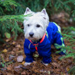 Stock Photo: West Highland terrier in forest, portrait