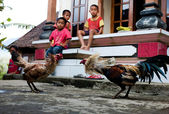BALI, INDONESIA - JANUARY 2009: Boys watching cock fight — Stock Photo