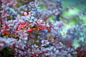 Barberry plant, close up — Stock Photo
