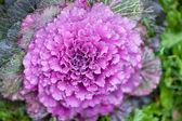 Ornamental cabbage — Stock Photo