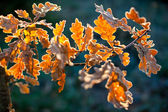 Foglie di quercia, da vicino — Foto Stock