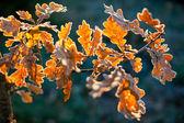 Folhas de carvalho, close-up — Foto Stock