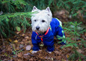 West Highland terrier in forest, portrait — Stock Photo