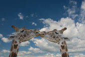 Giraffe in love — Stock Photo