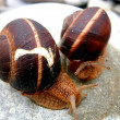 Foto Stock: Love snails