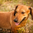 Dachshund Dog — Stock Photo