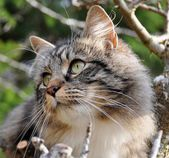 Norwegian forest cat — Stock Photo