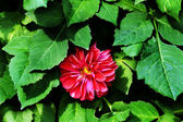 ダリアの花. — ストック写真