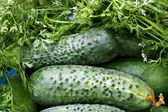 Ripe cucumber — Photo
