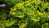 Blooming dill — Stock Photo