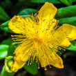 Yellow Rose of Sharon (Hypericum calycinum) — Stock Photo
