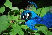 Peacock in groene bladeren — Stockfoto