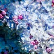 Gorgeous blue and purple lilac — Stock Photo