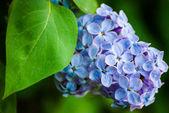Blauwe lila in groene bladeren — Stockfoto