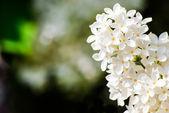 Cerrar vista de flor blanca lila — Foto de Stock