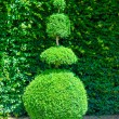 Stock Photo: Topiary tree