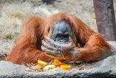 большой орангутанг — Стоковое фото