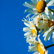 Daisies against blue sky — Stock Photo