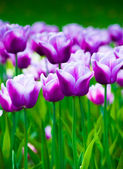 Vivid violet tulips, spring — Stock Photo