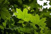 白のカエデの葉 — ストック写真
