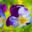 Tricolor violet — Stock Photo #27795597