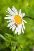 Daisies in green meadow — ストック写真