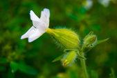 Big green flower bud — Stock Photo