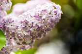 Lilac flowers of light purple color — Stock Photo