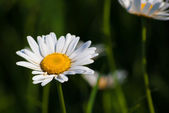 Daisies in green meadow — Stock Photo