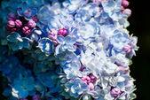 Nádherná modrá a fialová Lila — Stock fotografie