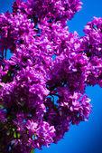 Purple lilac in blue sky — Stock Photo