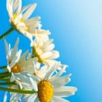 Daisies against blue sky — Stock Photo #34348723
